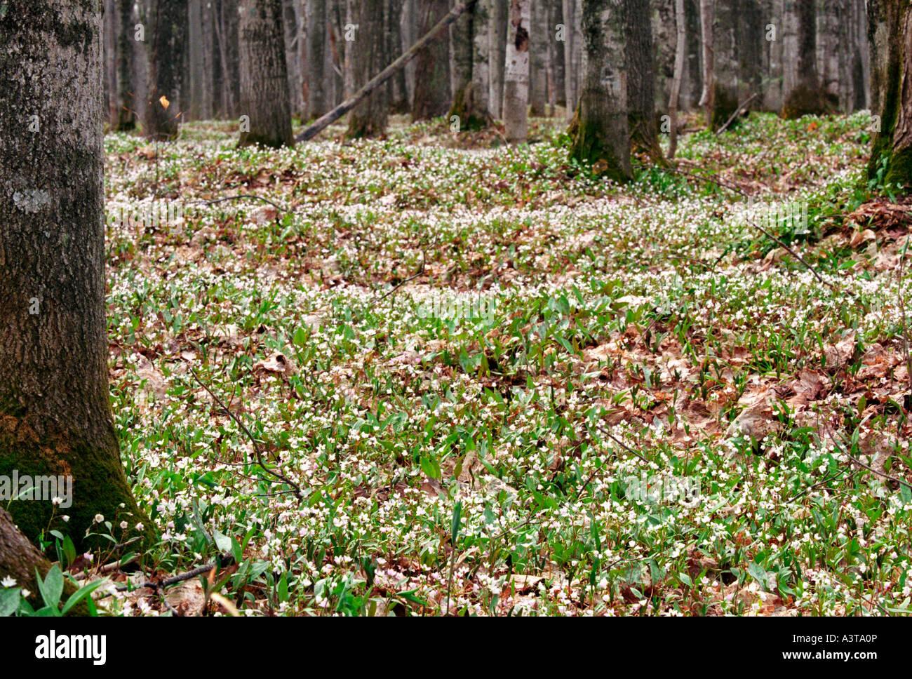 Flores silvestres de primavera UNA MANTA EN EL SUELO DEL BOSQUE RIENDO WHITEFISH Falls State sitio panorámico cerca Foto de stock