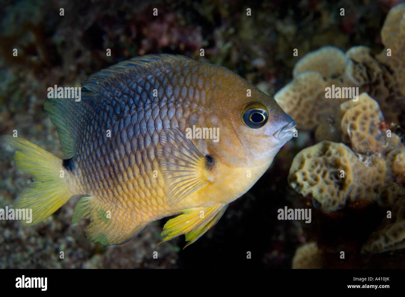 Threespot damisela en el arrecife de coral en la isla de Bonaire en el Caribe Foto de stock