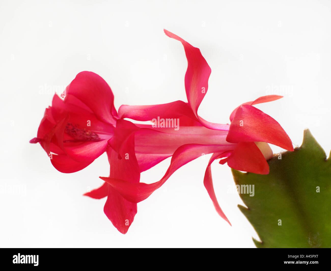 Recorte de cactus de navidad Imagen De Stock