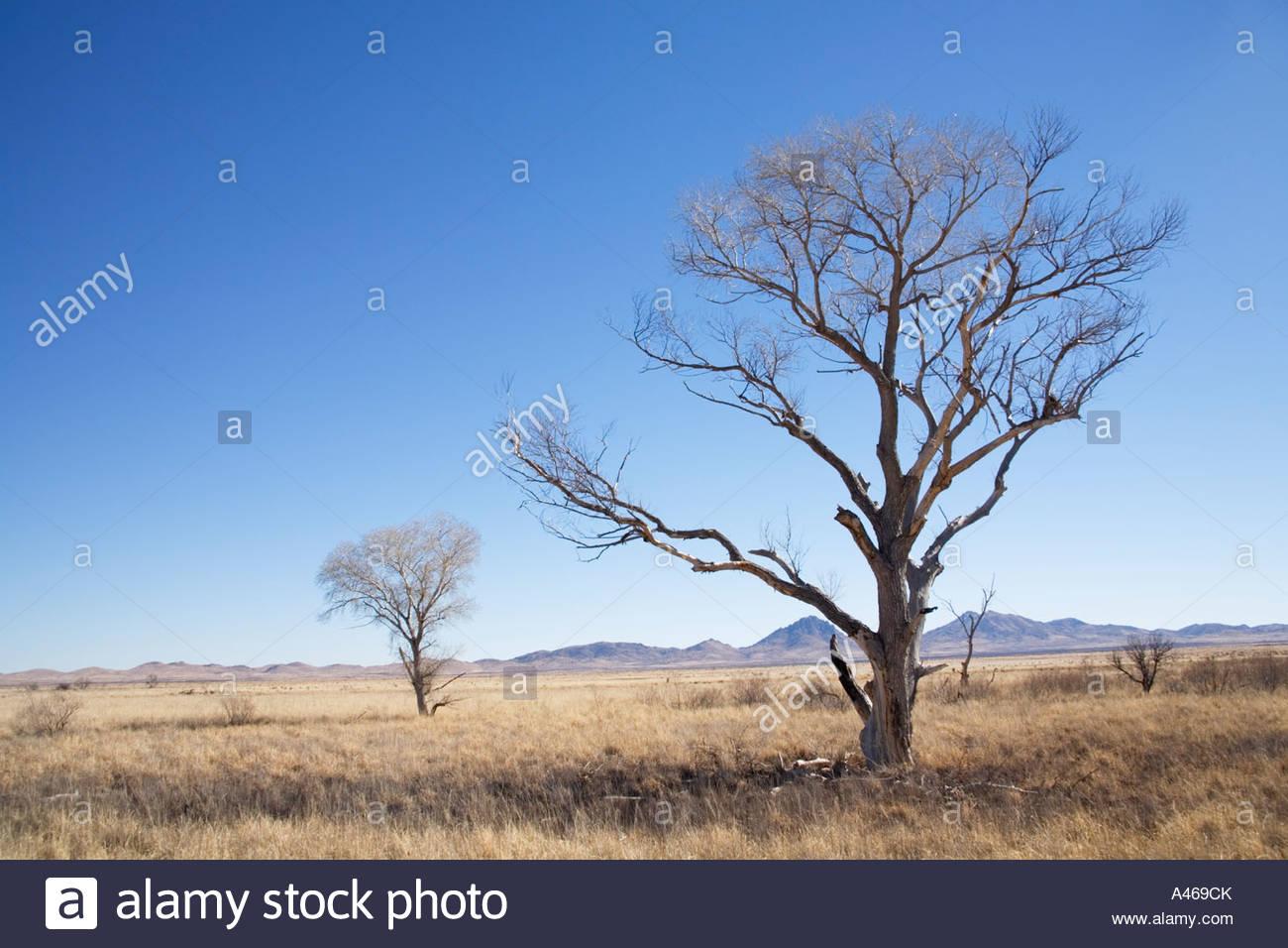 Árbol de chopo muerto esbozadas contra el cielo en el campo de hierba seca Imagen De Stock