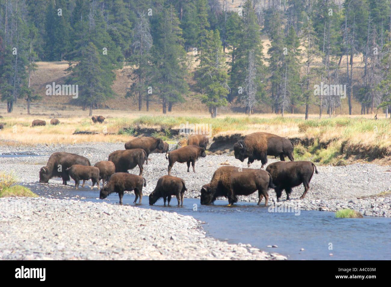 Bisonte en el valle Lamar, el parque nacional Yellowstone, Wyoming Foto de stock