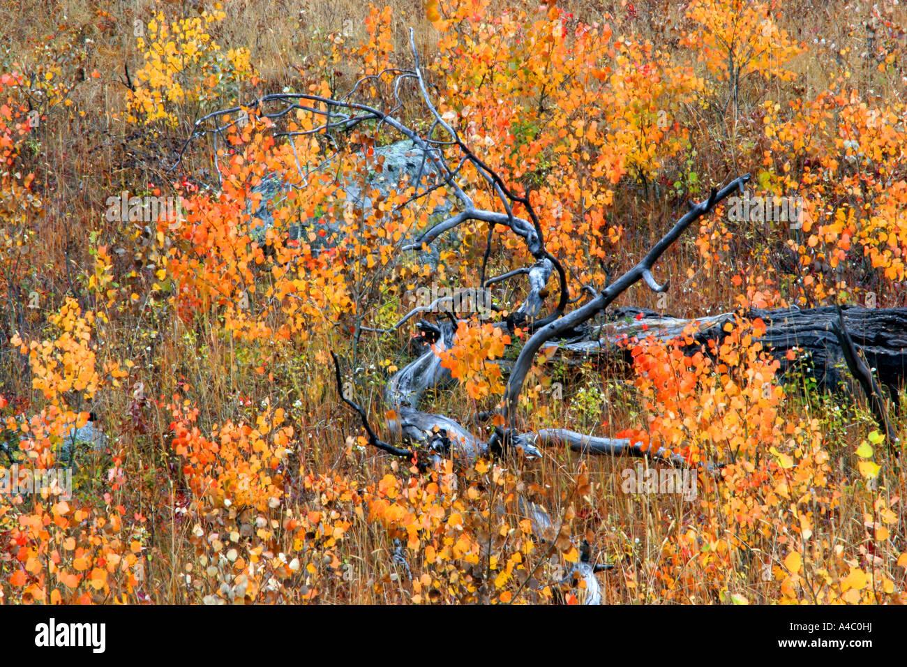 Los colores de otoño, el parque nacional Yellowstone, Wyoming Foto de stock