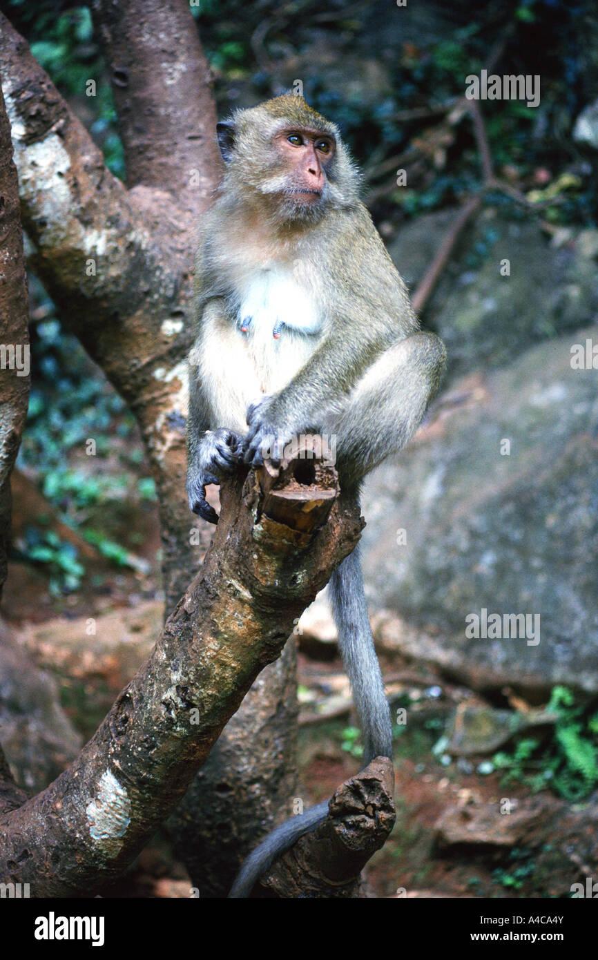 Monos de Tailandia, Krabi, Tailandia Foto de stock