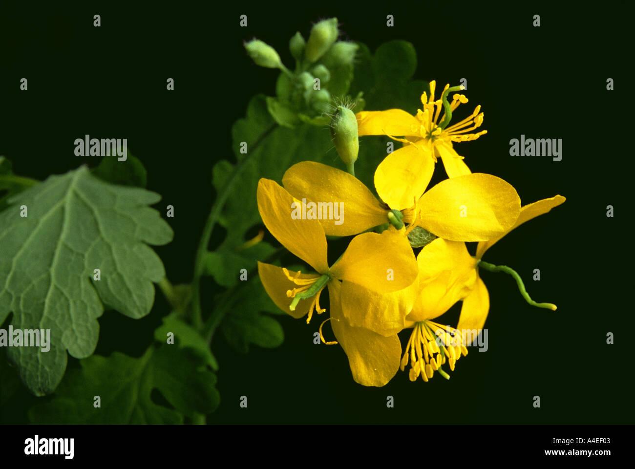 Plantas Medicinales Flores Amarillas De Schollkraut Celidonia