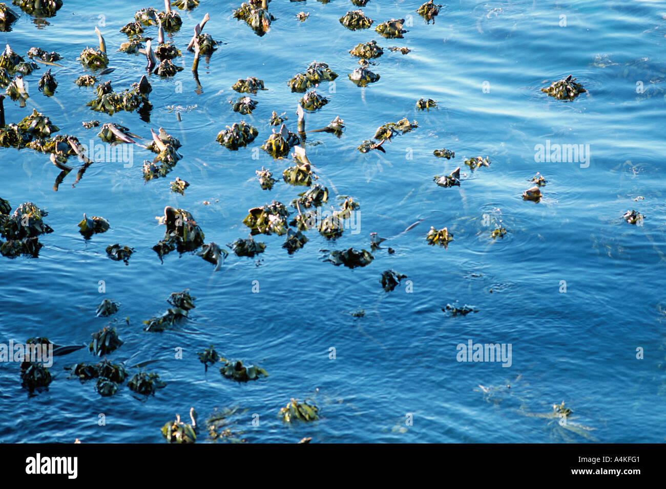 Sudáfrica, algas que crecen en el agua Foto de stock