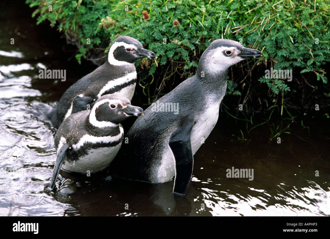 Pingüineras de Seno Otway Punta Arenas Patagonia Chile América del Sur Imagen De Stock