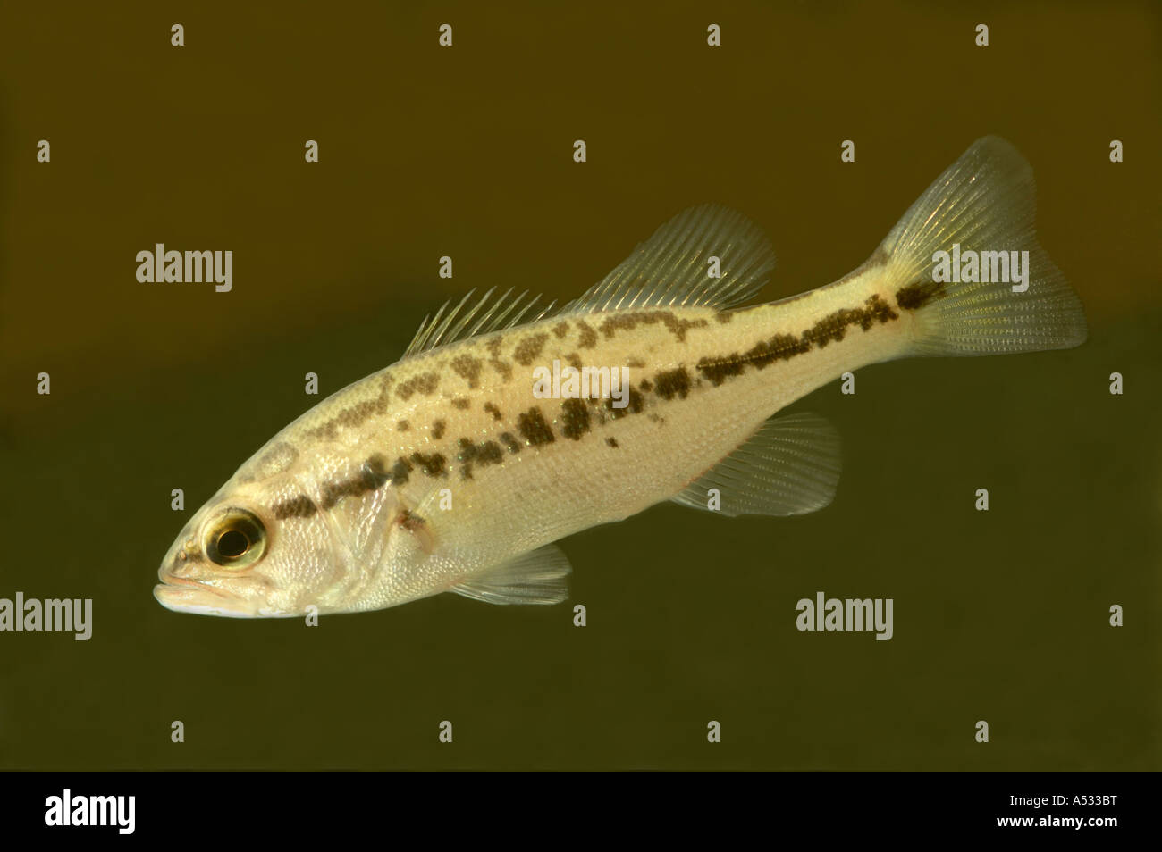 Smallmouth bass Micropterus dolomieu, juvenil Imagen De Stock