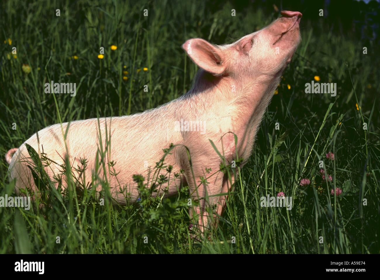 Lechón de cerdo joven animal animales criatura criaturas mamíferos mamíferos CERDOS cerdos LECHONES Lechones de granja de animales al aire libre Imagen De Stock