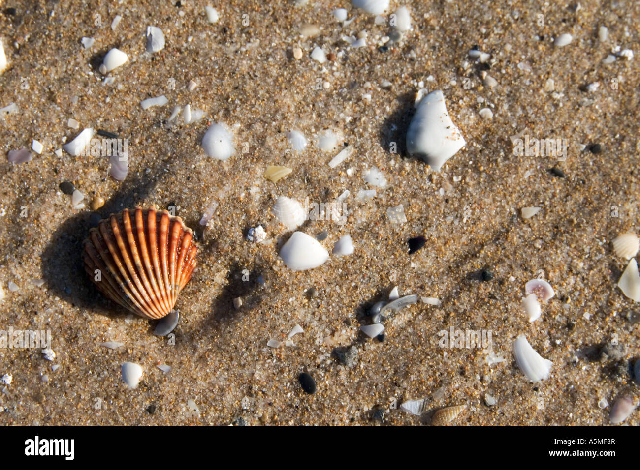 Shell rojo solitario en una playa infestada de shell. Foto de stock