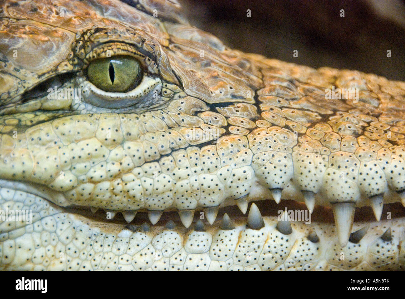 Crocodylus cocodrilo Imagen De Stock