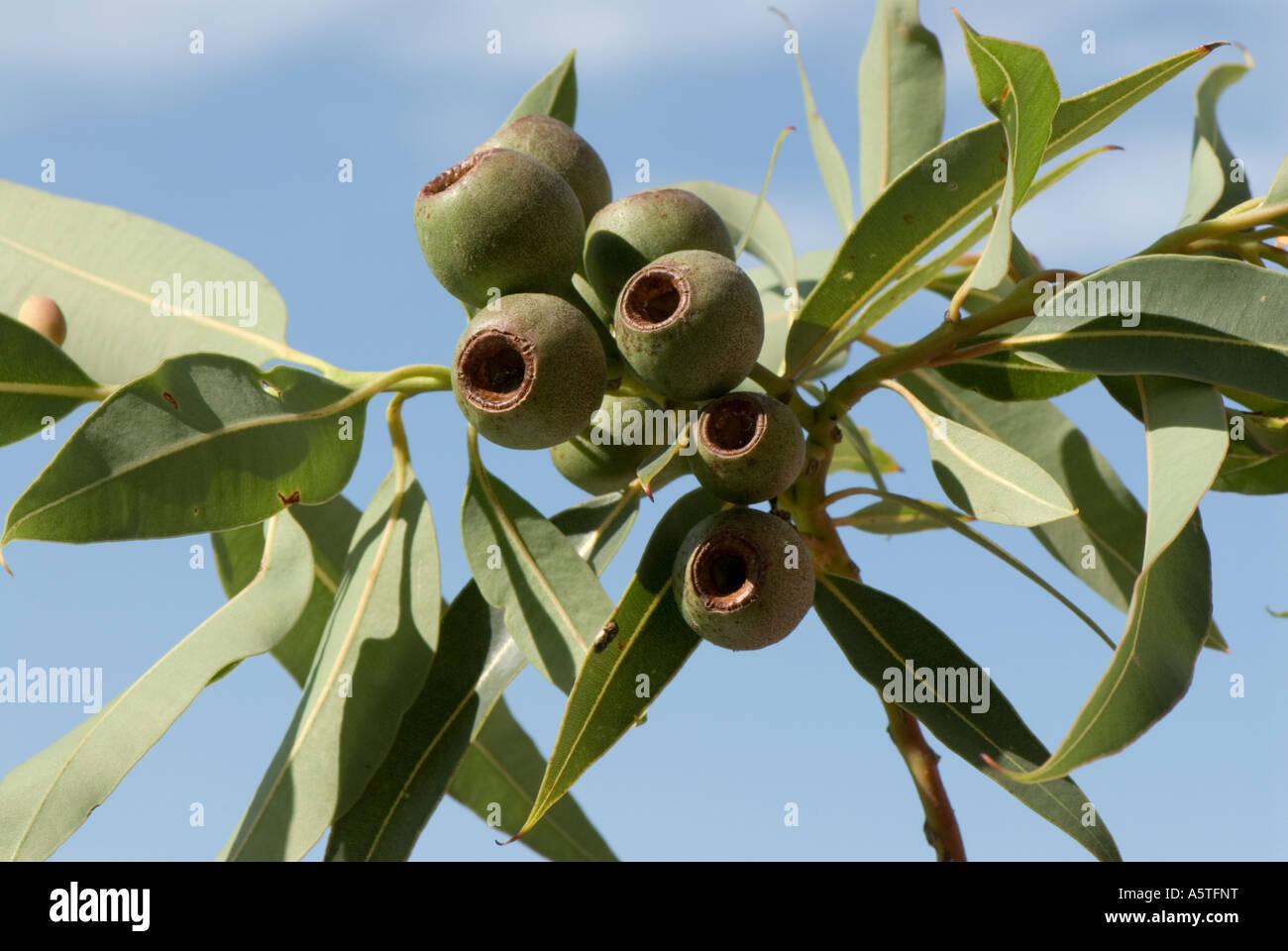 La fruta de vainas o goma de mascar nueces de la floración roja gum tree Eucalyptus Ficifolia Imagen De Stock