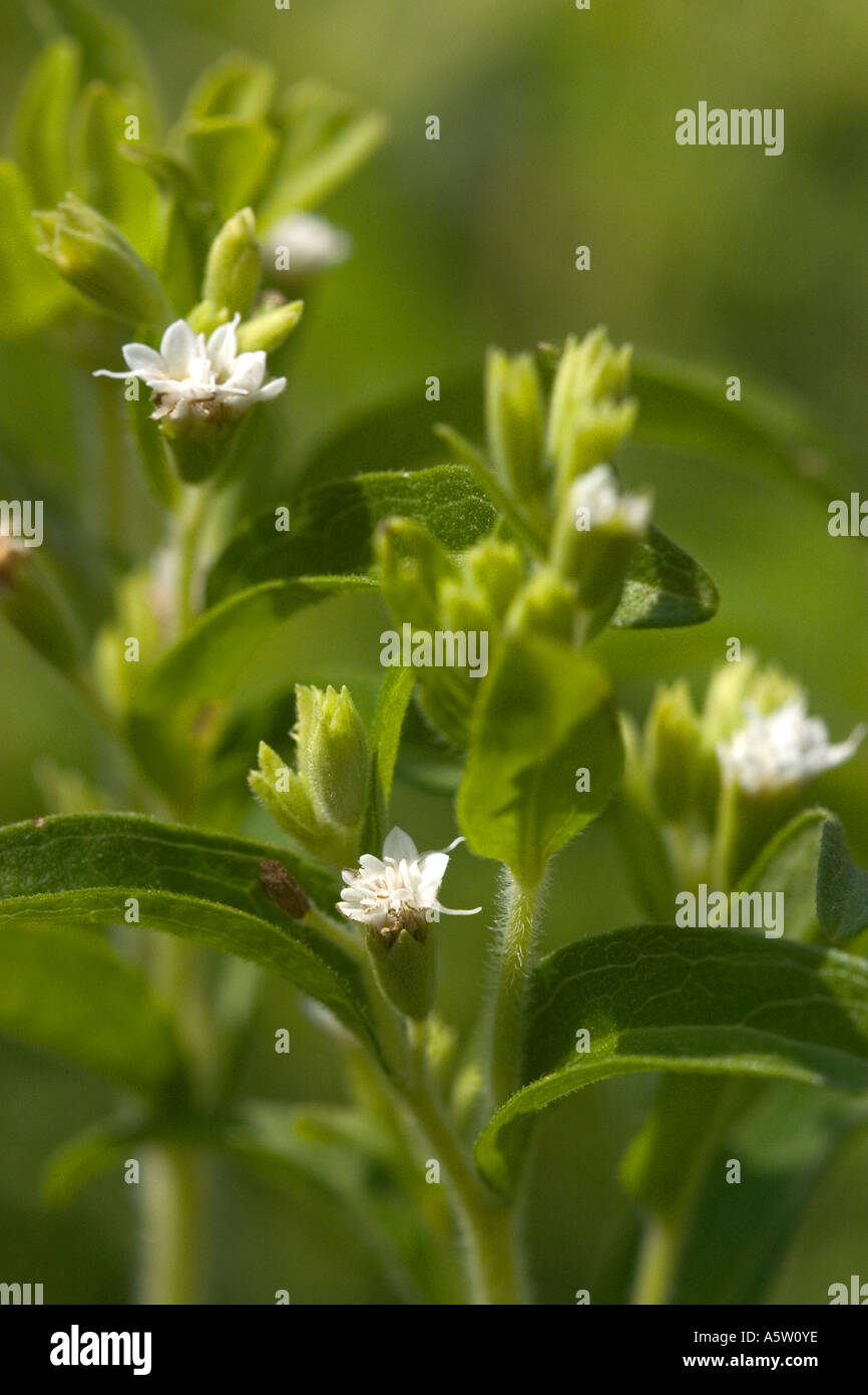 Entorno Natural foto de planta de azúcar 'Stevia rebaudiana
