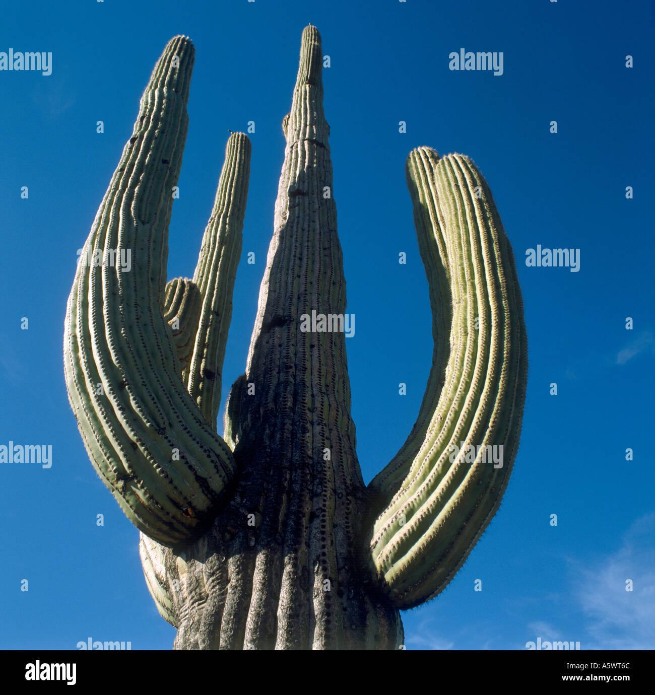Cactus gigante saguaro, Arizona, EE.UU. Foto de stock
