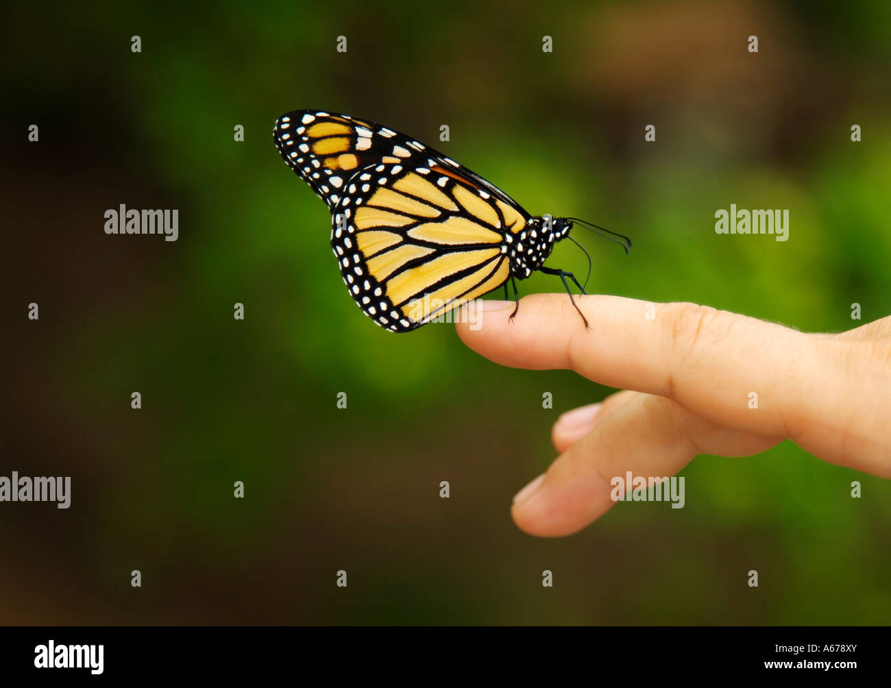 Mariposa Monarca en mano de mujer Foto de stock