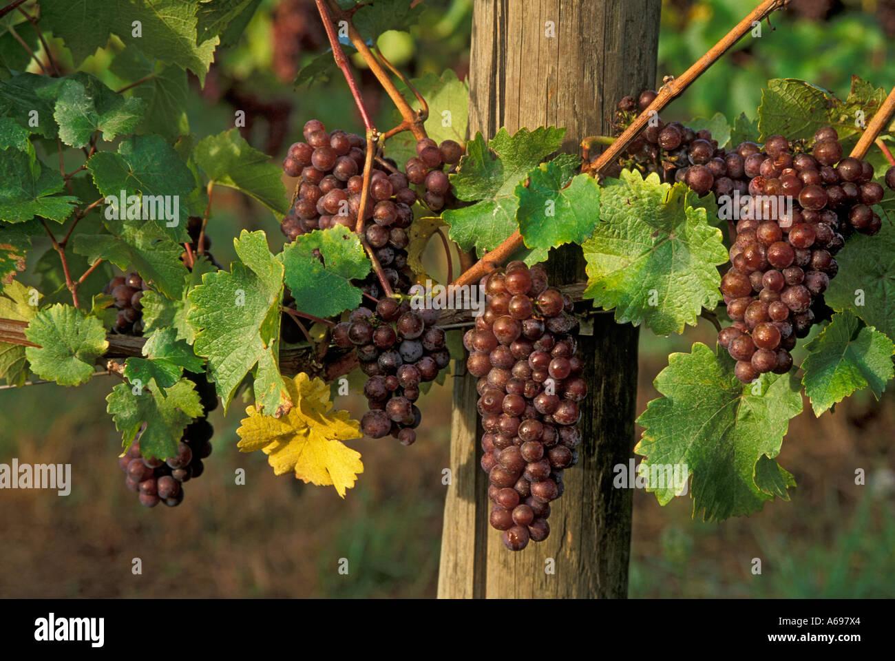Pinot Gris vino de uvas en la viña Champoeg viñedos Valle de Willamette en Oregon Imagen De Stock