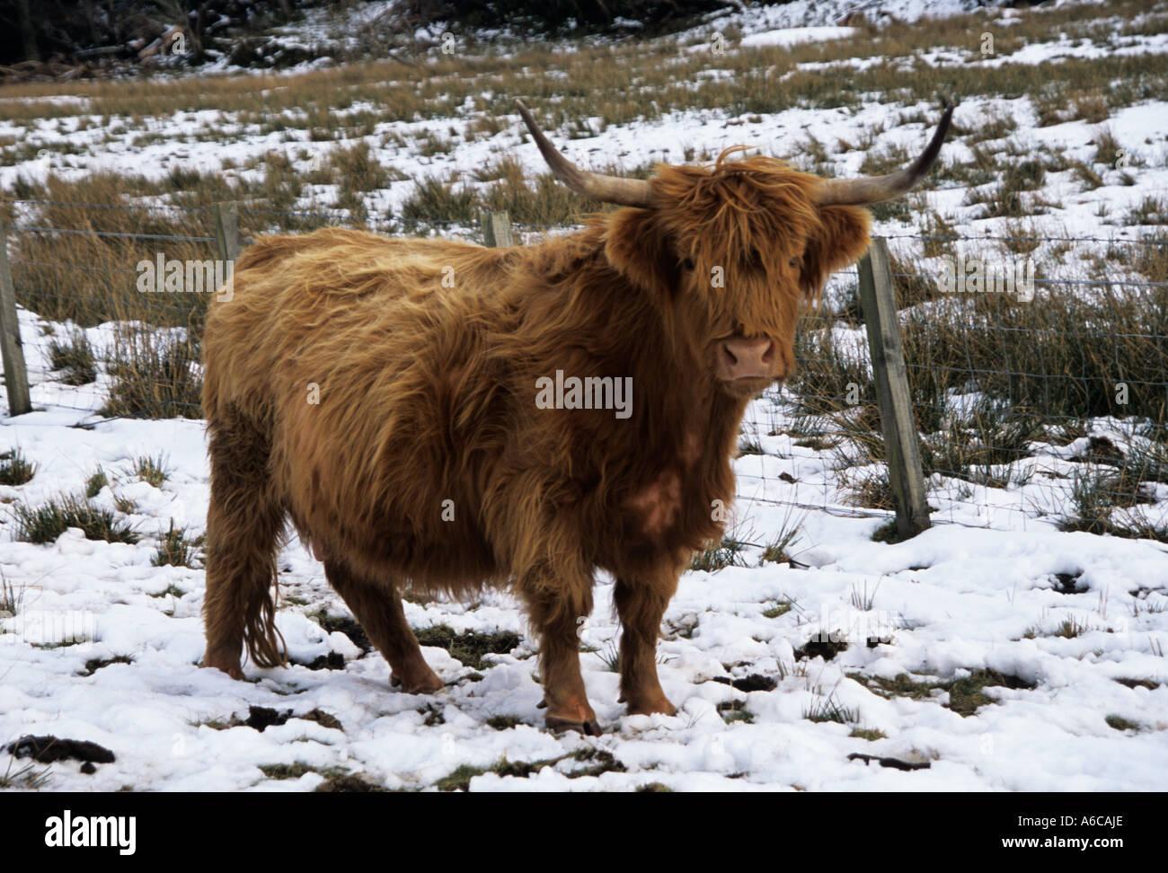 HIGHLANDS ESCOCESAS UK Febrero una curiosa Highland vaca en un campo cubierto de nieve Foto de stock