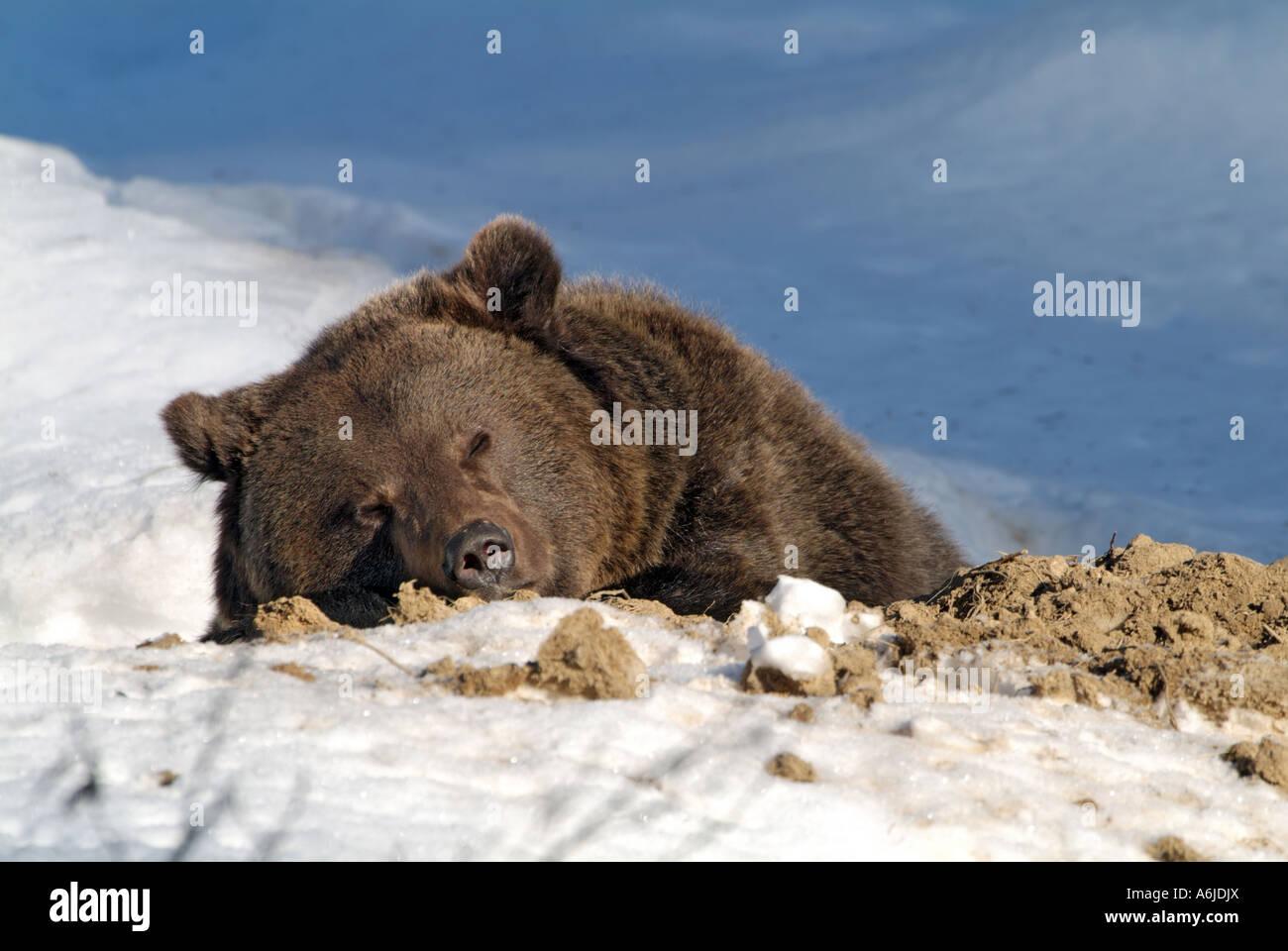 Bear Sleep Winter Imágenes De Stock & Bear Sleep Winter Fotos De ...