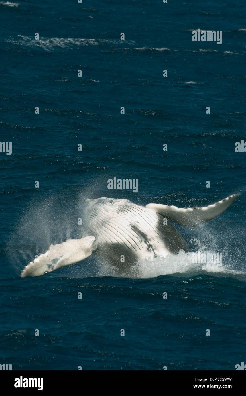 La ballena jorobada (Megaptera novaeangliae) Infracción de Cabo San Lucas, México Imagen De Stock