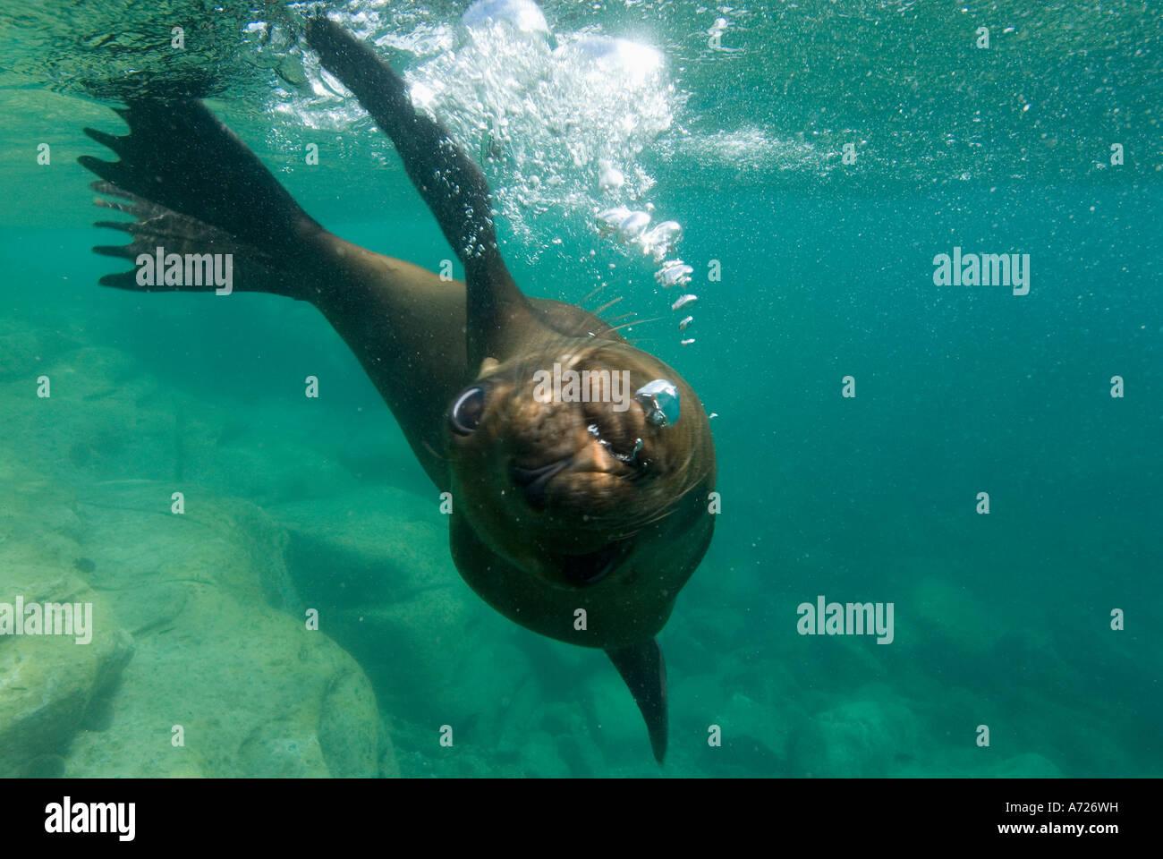 León marino de California (Zalophus californianus) debajo del agua del mar de Cortés, los islotes, Baja Imagen De Stock