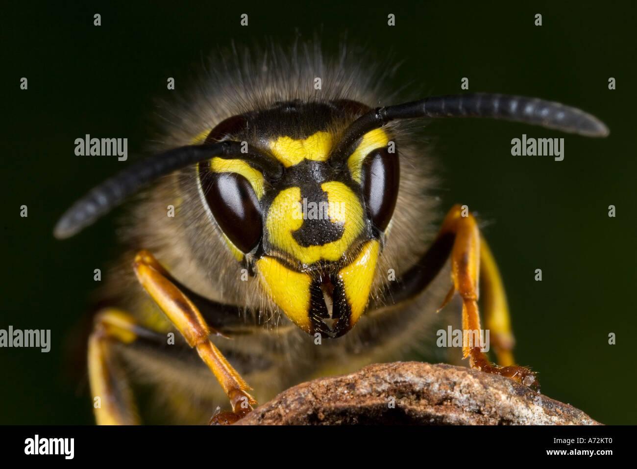 Avispa común Vespula vulgaris vista detalle de cabeza mostrando signos distintivos potton bedfordshire Imagen De Stock