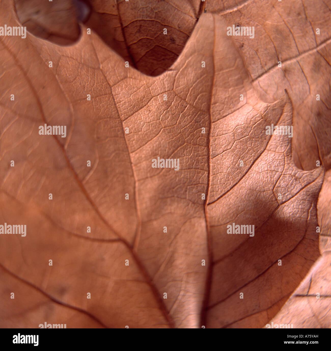 Still life de marrón Hoja de Otoño Imagen De Stock
