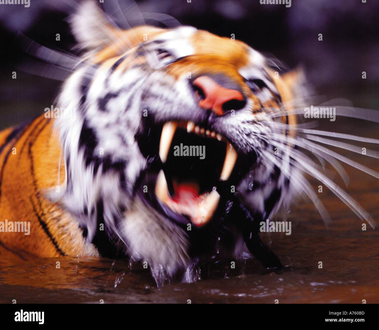 Tigre siberiano nadar en el río. Imagen De Stock