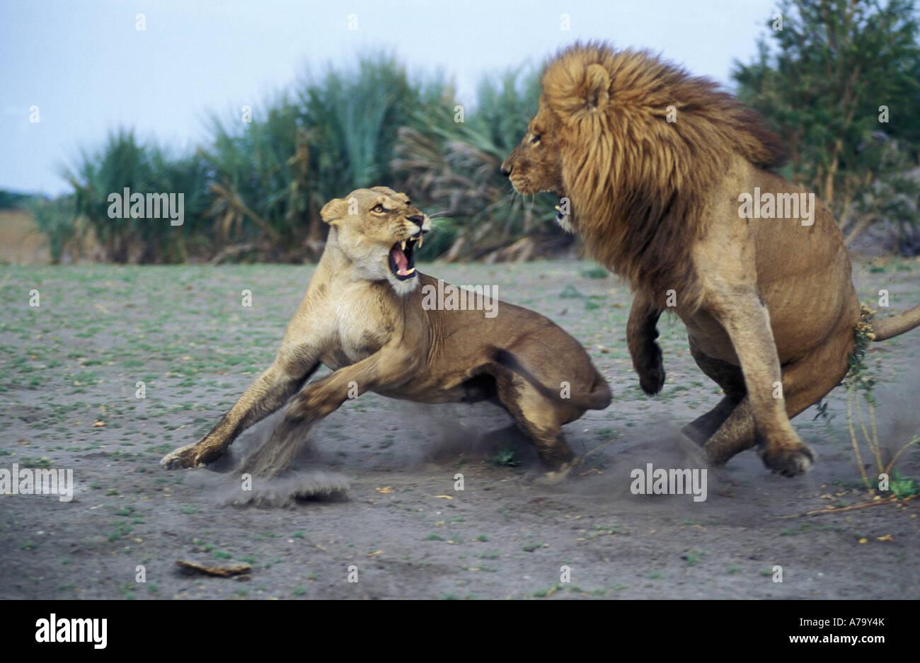 Un león macho toma acción evasiva de un agresivo Mombo femenina Delta del Okavango Botswana Imagen De Stock