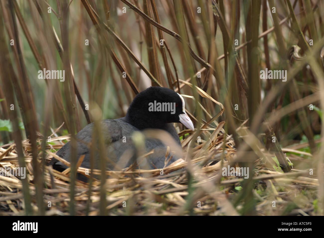 Focha Común (Fulica atra) sentado sobre el nido en las cañas al borde del agua. Imagen De Stock