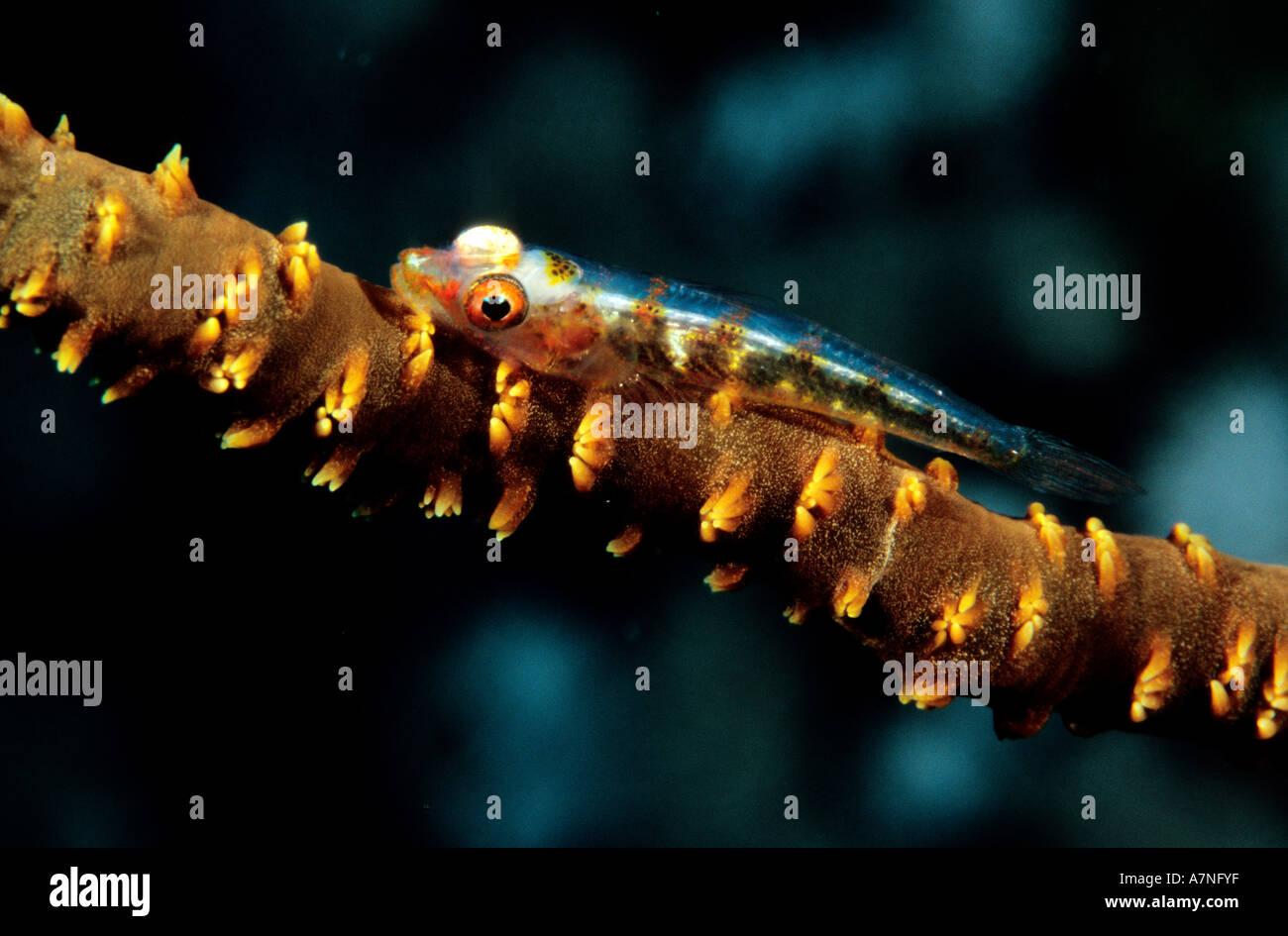Egipto, el Mar Rojo, un gobio de 2 cm de largo, con manchas marrones similares a los pólipos de coral el látigo donde está sentando Imagen De Stock
