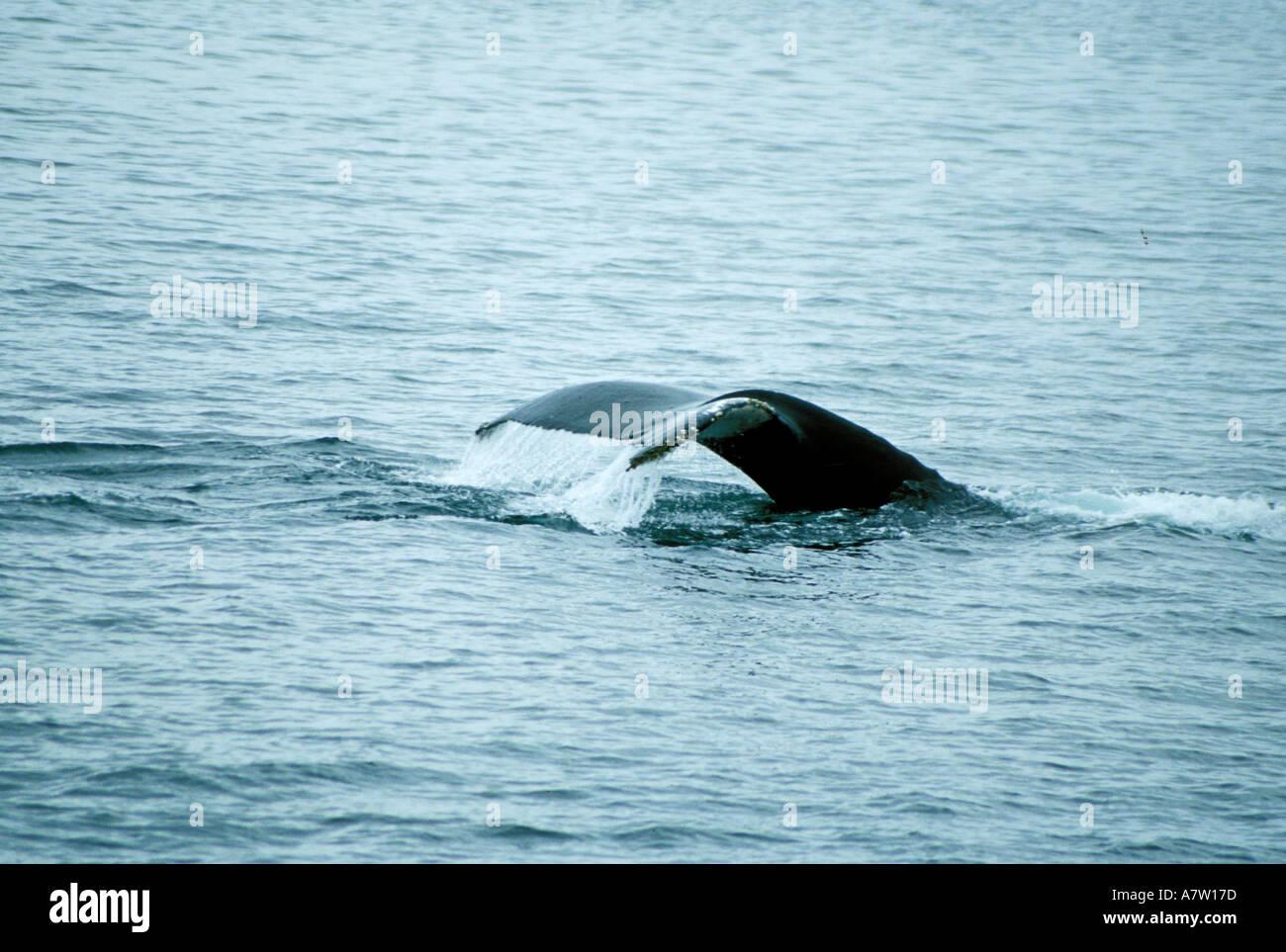 Fluke Ballena Jorobada sureste de Alaska Foto de stock