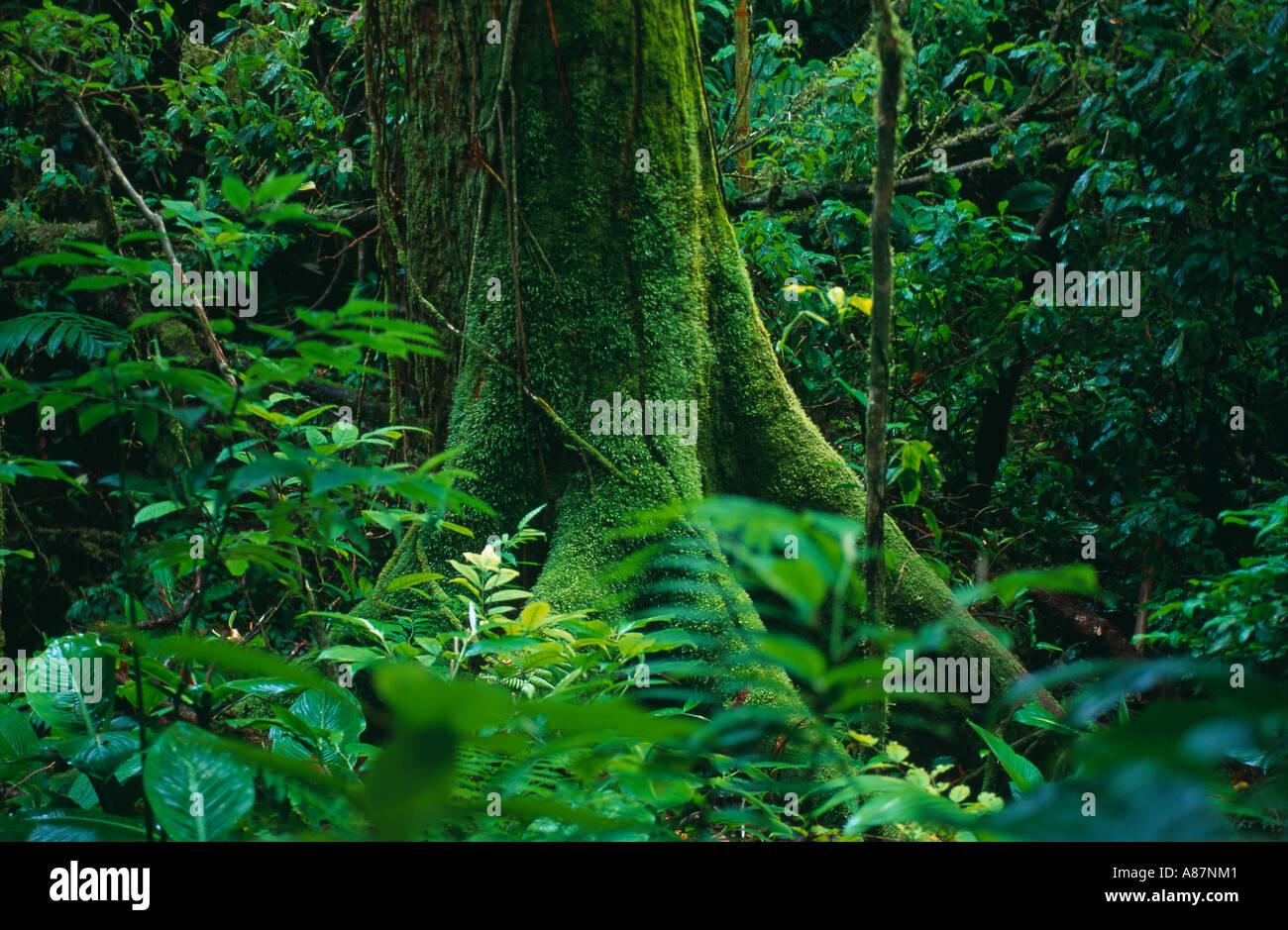 Las raíces del árbol de musgo selva tropical nr La Fortuna, Zona Norte de Costa Rica Imagen De Stock