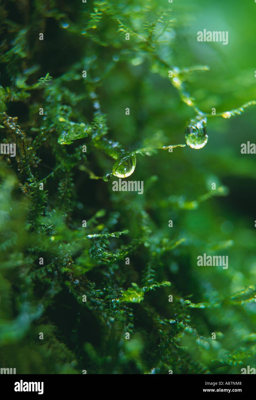 Gota de agua en MOSS en selva tropical nr La Fortuna, Zona Norte de Costa Rica Imagen De Stock