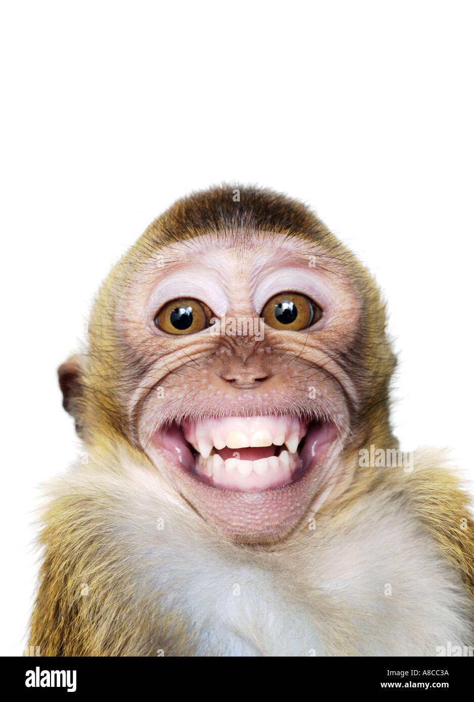 Monos macacos de Java Imagen De Stock
