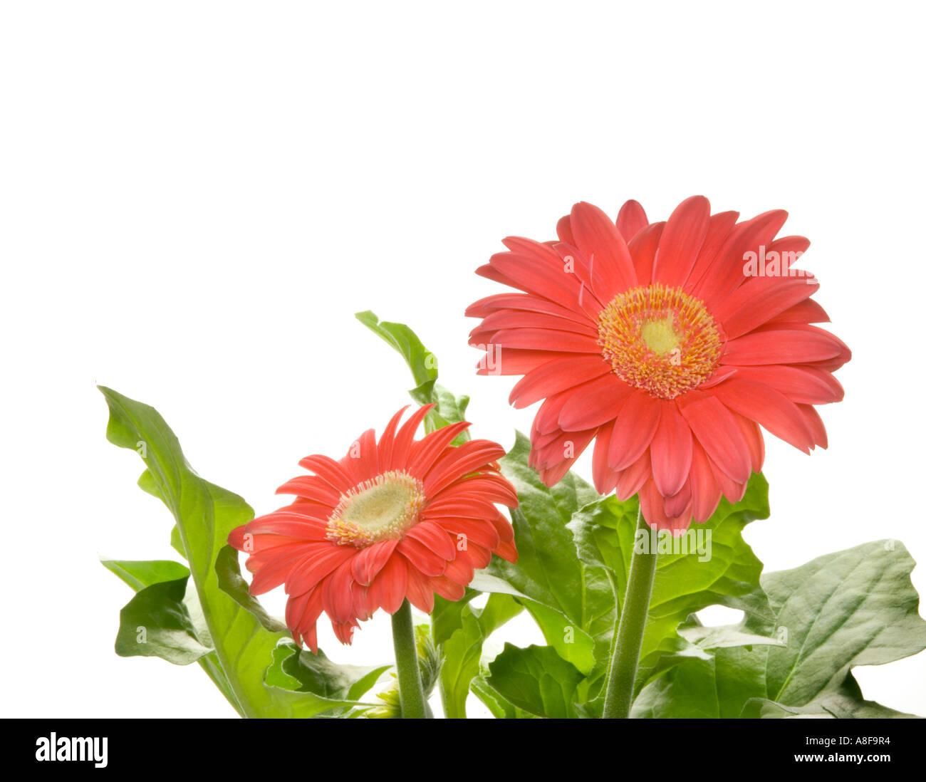 Color brillante GERBERA planta de flor en flor rosa rosa rojo ...