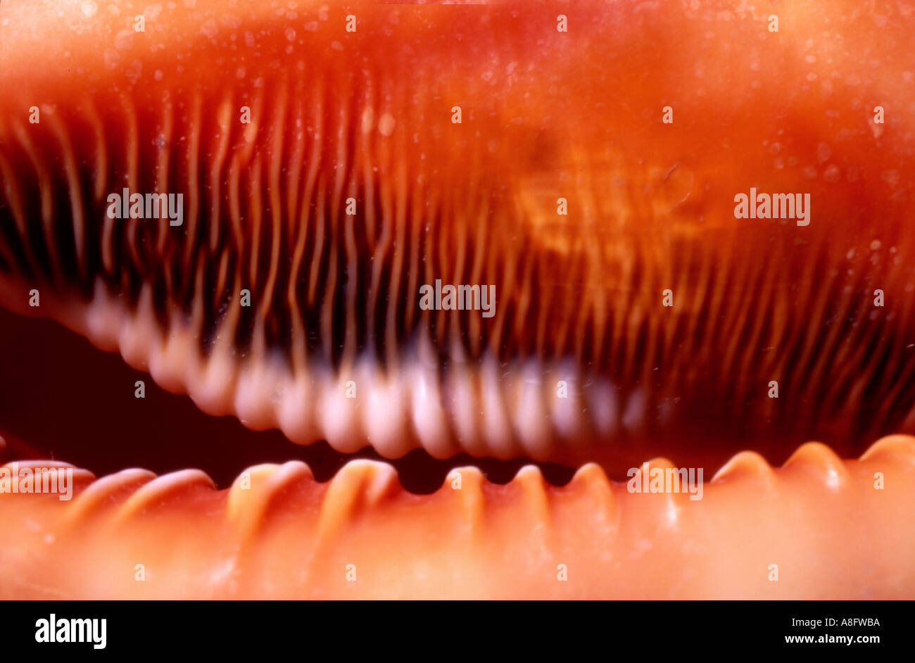 Moluscos de concha marina australiana macro abstracto shot de apertura de shell Imagen De Stock