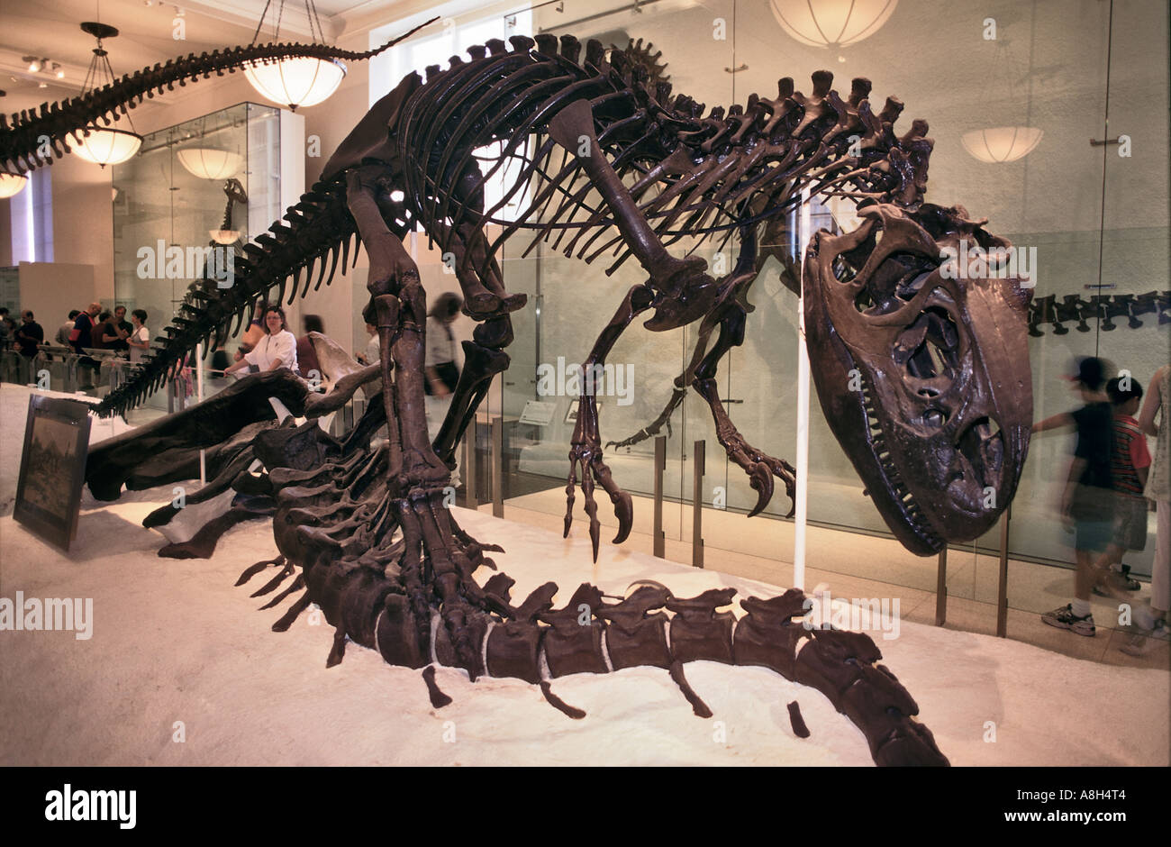 Allosaurus esqueleto Jurásico de América del Norte Imagen De Stock