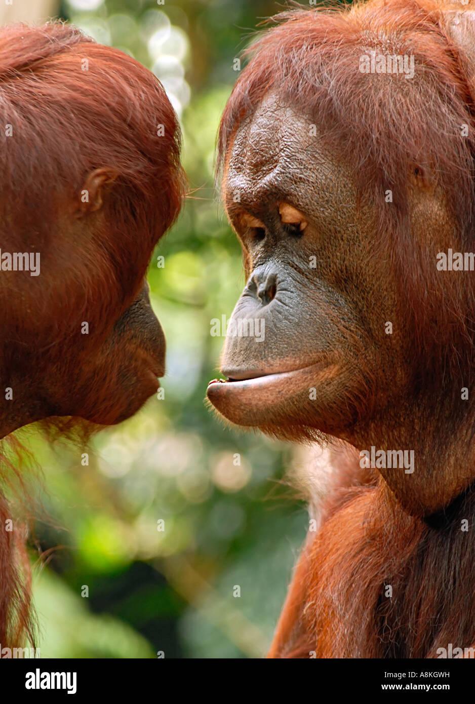 Dos orangután comunicando Foto de stock