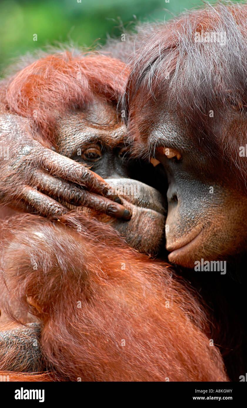 Dos orangután abrazando Foto de stock