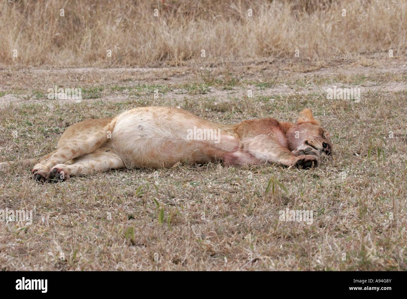 Un león con la grasa del vientre abultado dormir después de comer en un kill Nkhoro Sabi Sand Game Reserve en Mpumalanga Sudáfrica Foto de stock