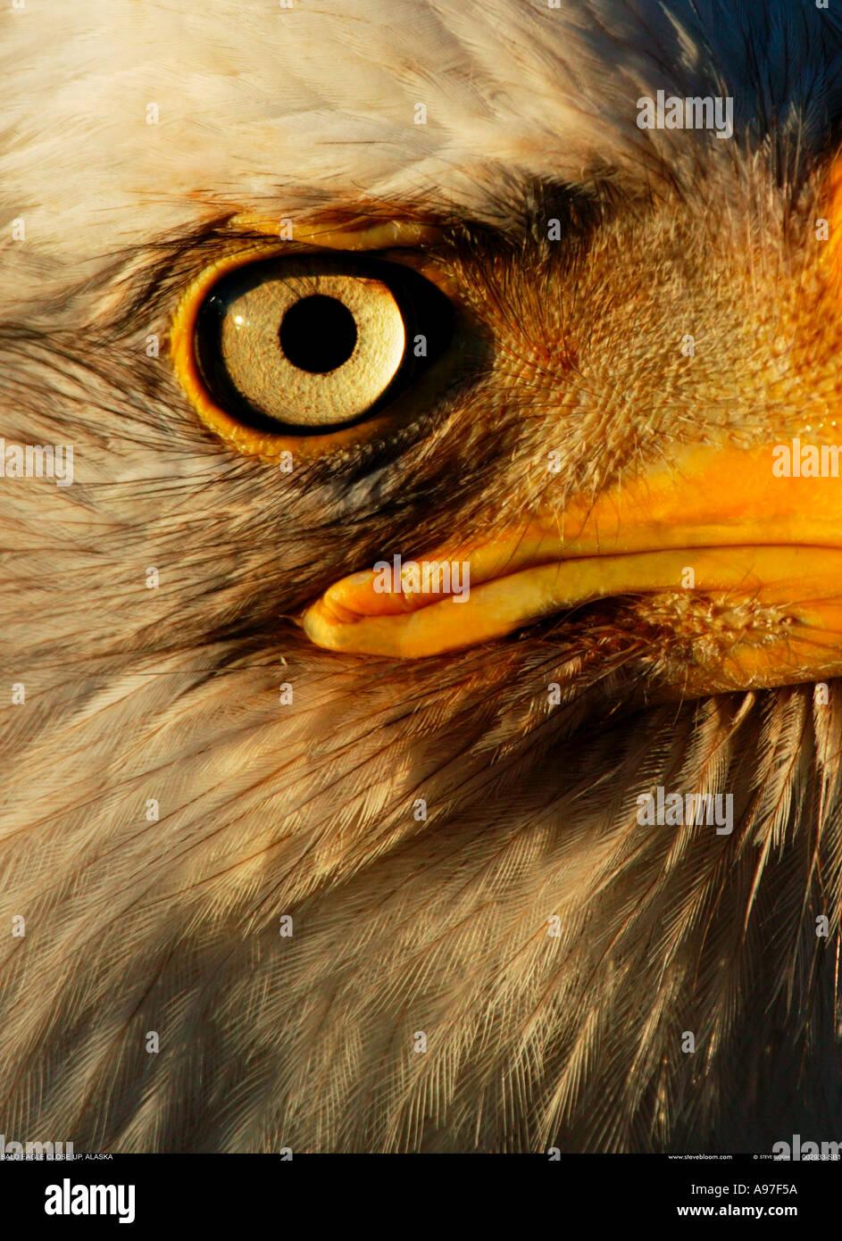 El águila calva cerca de Alaska Imagen De Stock