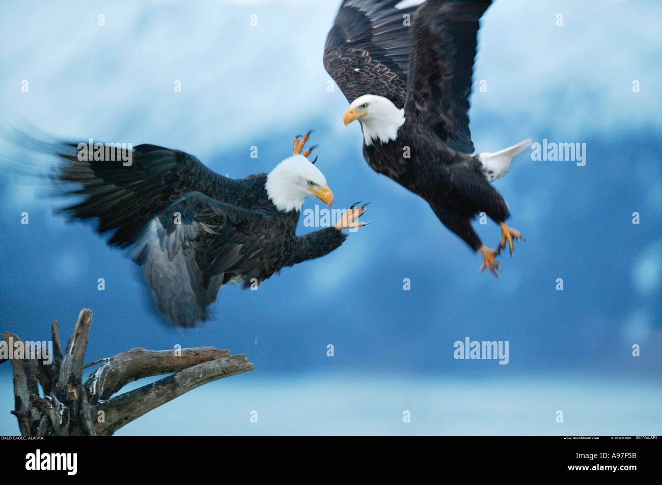 Las águilas cabeciblancas combates Alaska Imagen De Stock