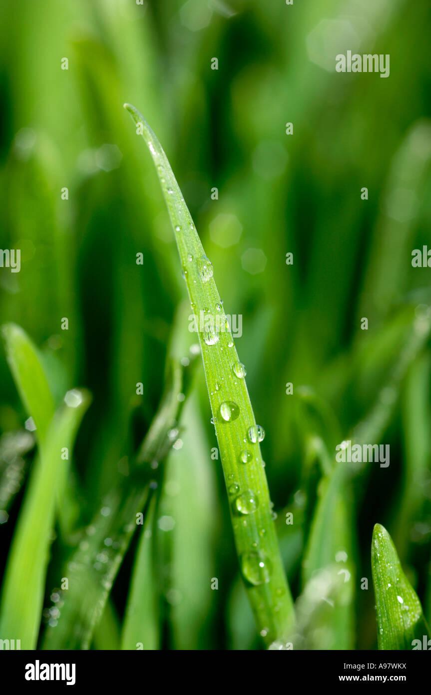 La hierba húmeda Imagen De Stock