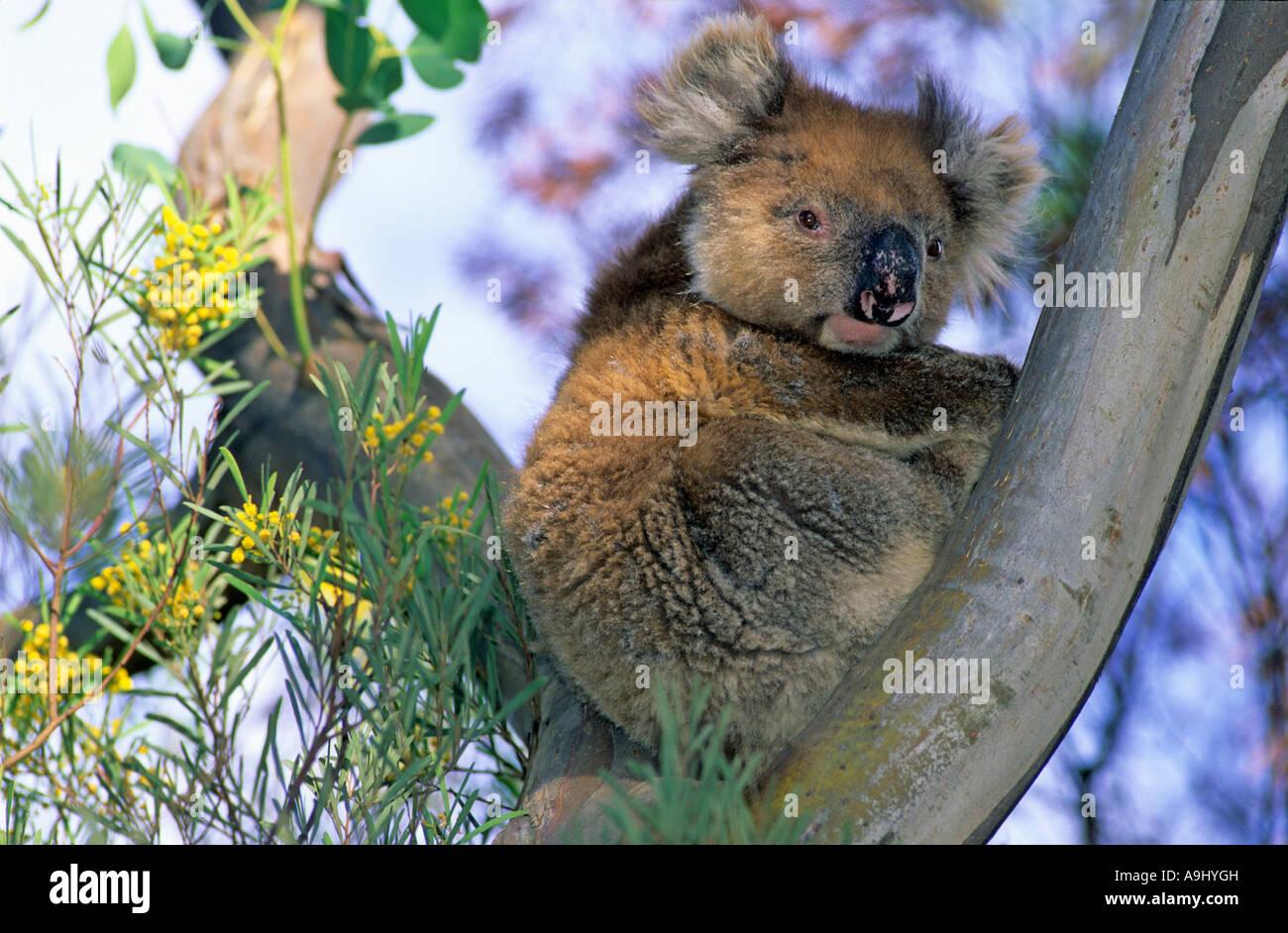 El Koala en un árbol de eucalipto, Kangaroo Island, South Australia, Australia Imagen De Stock