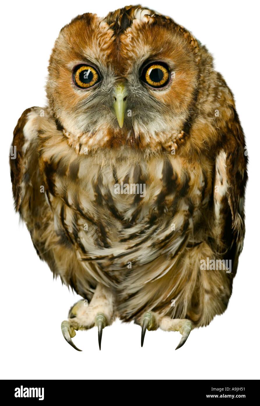 Esbozó Pájaro Buho Imagen De Stock