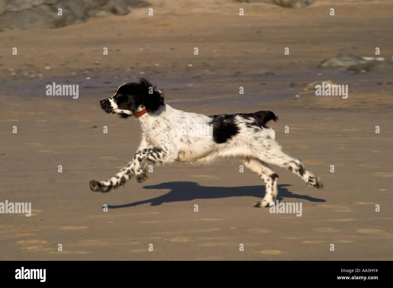 Springer Spaniel Engllish corriendo en playa Gwithian cornwall noviembre de 2005 Imagen De Stock