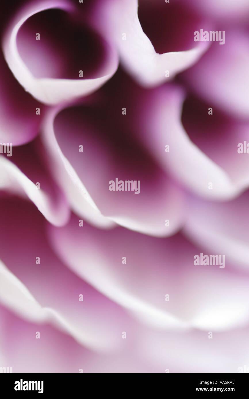 Cerca de púrpura blanco pétalos de Dalia Flor Foto de stock