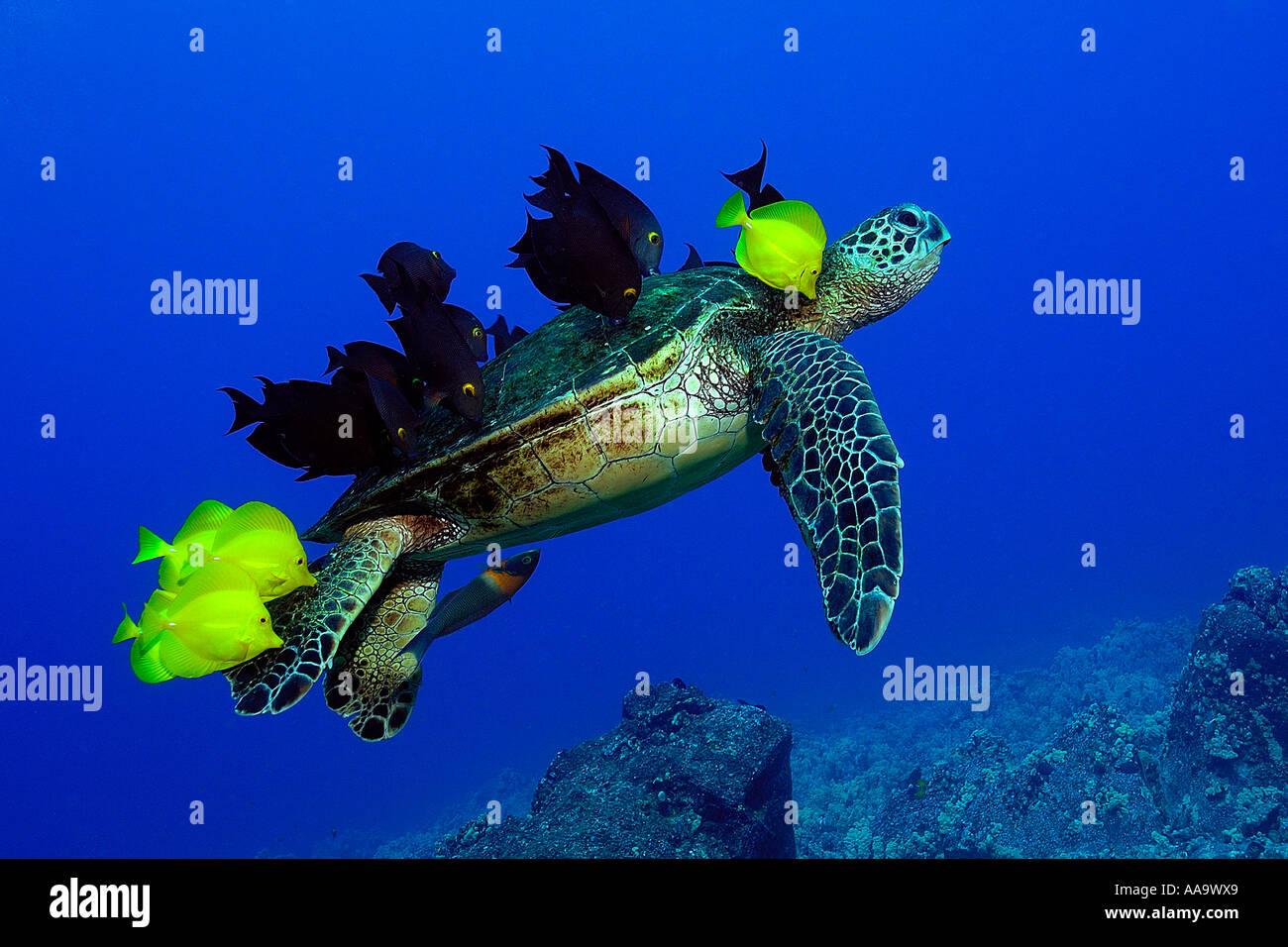 Tortuga verde Chelonia mydas limpiados por lengüetas de amarillo y rayado bristletooth Kailua Kona Hawai EE.UU. Imagen De Stock