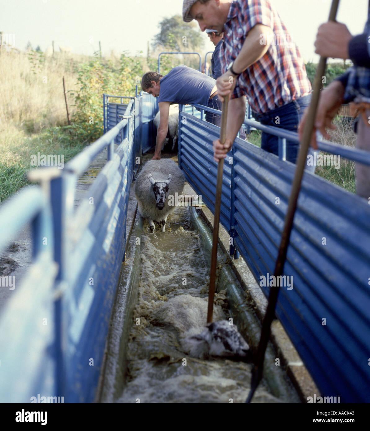Poner a través de ovejas Ovejas dip para proteger contra ectoparásitos como piojos y sarna Imagen De Stock