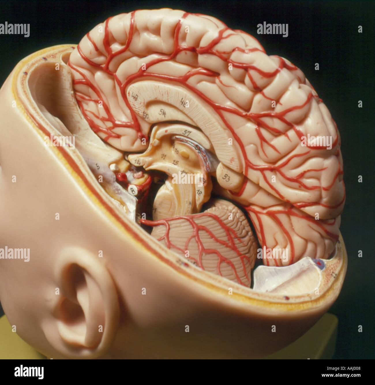 Modelo de un cerebro humano. Foto por Willy Matheisl Imagen De Stock