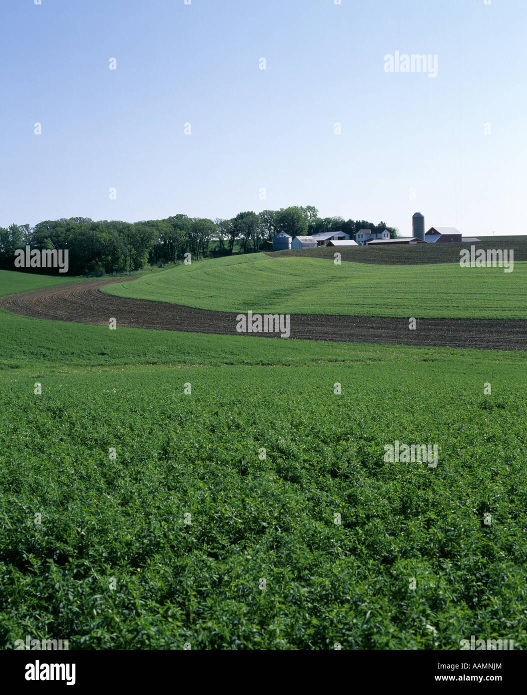 El heno de alfalfa EN PRIMER PLANO CON LAS TIRAS DEL CONTORNO que fluye suavemente el maíz plantado en el centro Imagen De Stock
